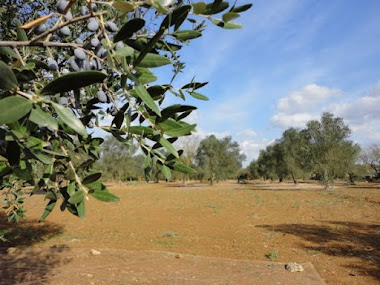 Olive trees and open areas