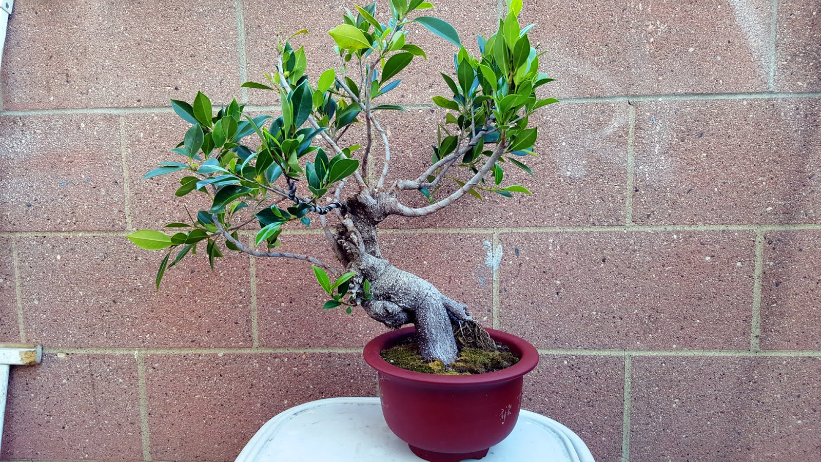 Bonsai Misadventures April 2016