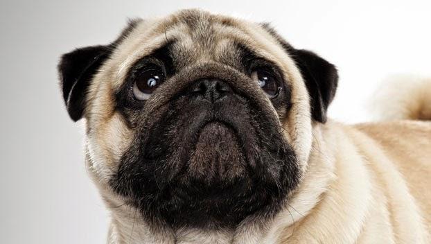 3 maravilhosos cães de companhia - Raça Pug