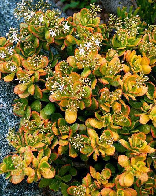 World of Succulents - Crassula ovata 'Hummel's Sunset'