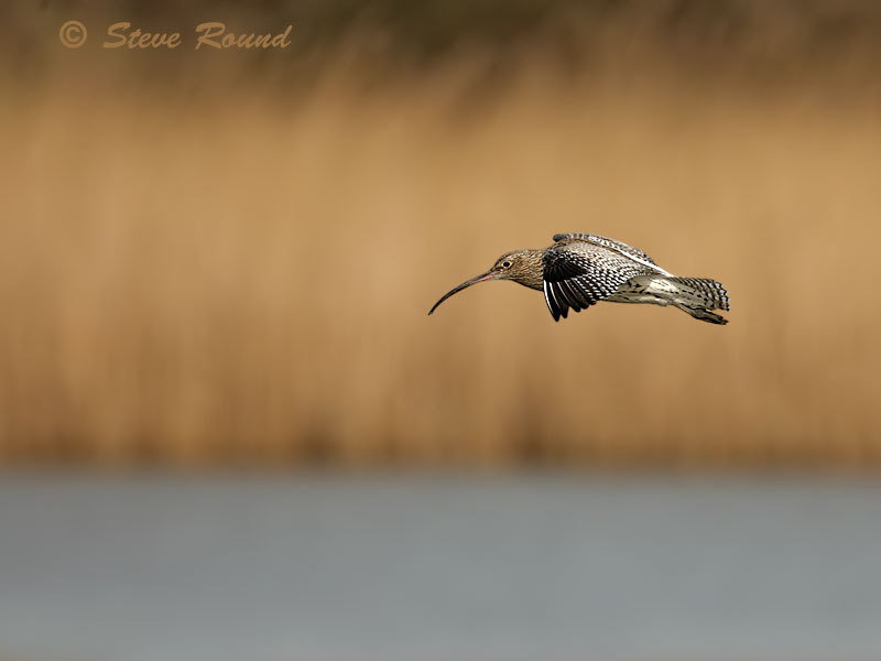 curlew, bird, wader