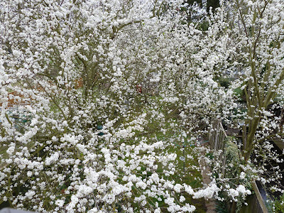 Full plum tree full bloom 31 Mar 2012