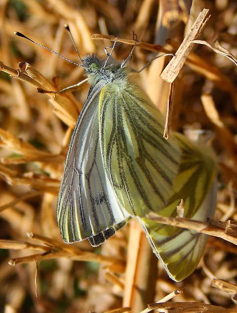 Green veined white butterflies (Pieris napi)