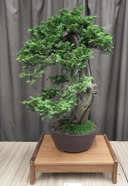 Thuja Cascade Bonsai featured at Taguchi Bonsai Show 2011