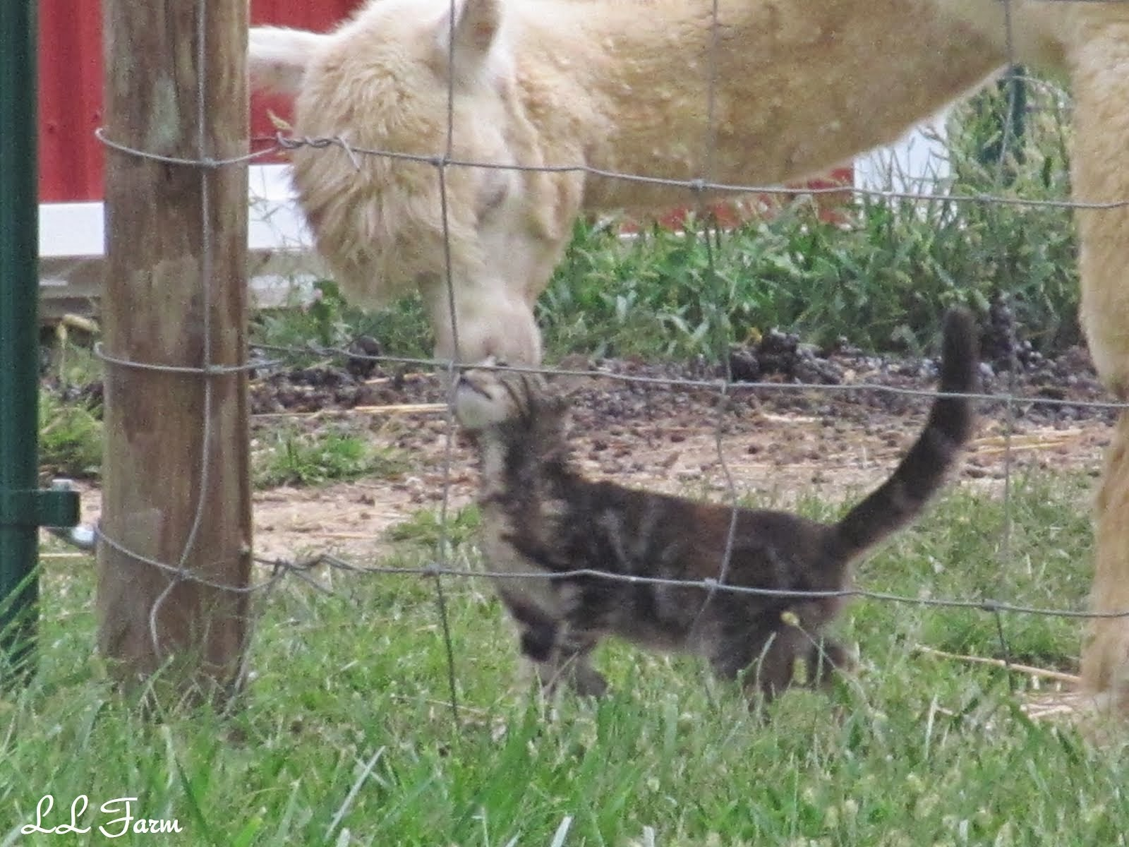 Alpaca Adopts Kitten
