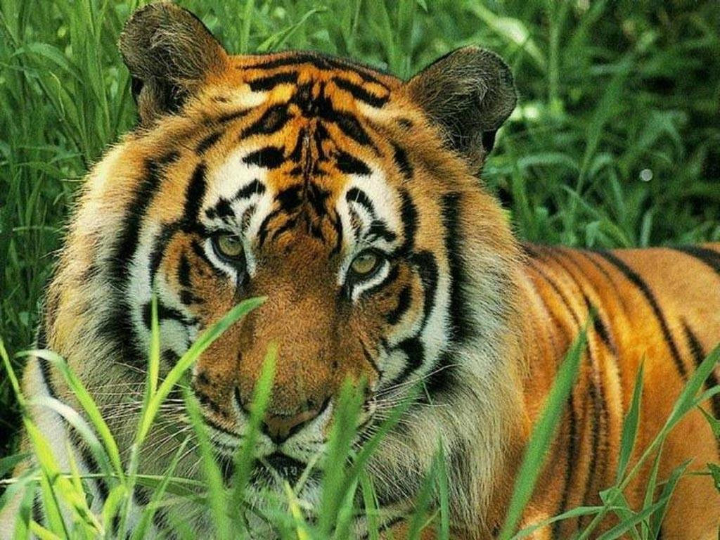 celebrity wall download beautiful tiger wallpapers