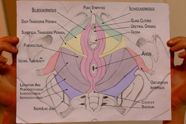 Pelvic Health And Alignment   Anatomy  Pelvic Floor Muscles