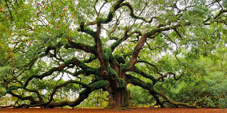 grossi alberi frondosi