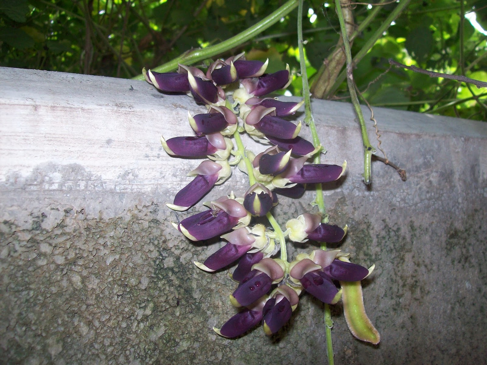 Indian Flowers And Herbs Velvet Bean The Itchy Plant