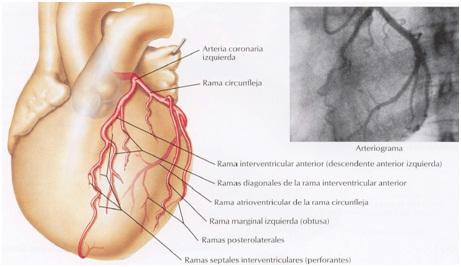 Anatomía del Corazón: Vascularización del Corazón