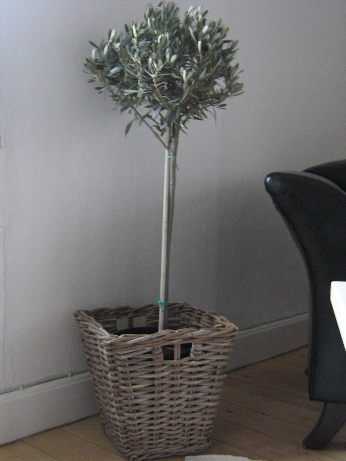 hvordan passer man et oliventræ indendørs