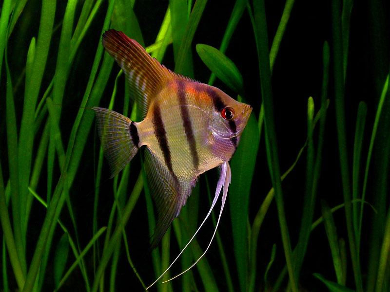Fish Species n.2 - Angelfish (Pterophyllum leopoldi ...