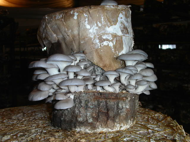 How to grow oyster mushrooms growing mushrooms - Growing oyster mushrooms profit ...