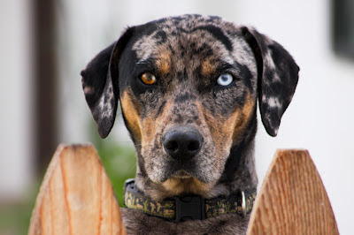 Catahoula leopard dog . This dog is merle and tan (black with tan