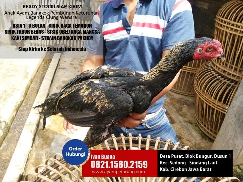 gambar ayam bangkok umur 3 bulan