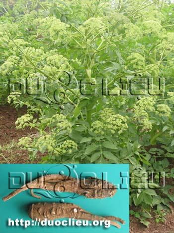 Angelica dahurica (Fisch. ex Hoffm.) Benth. et Hook. f