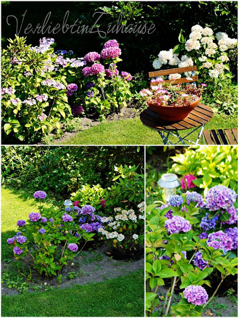 Die Hortensien blühen und verbreiten Sommerlaune