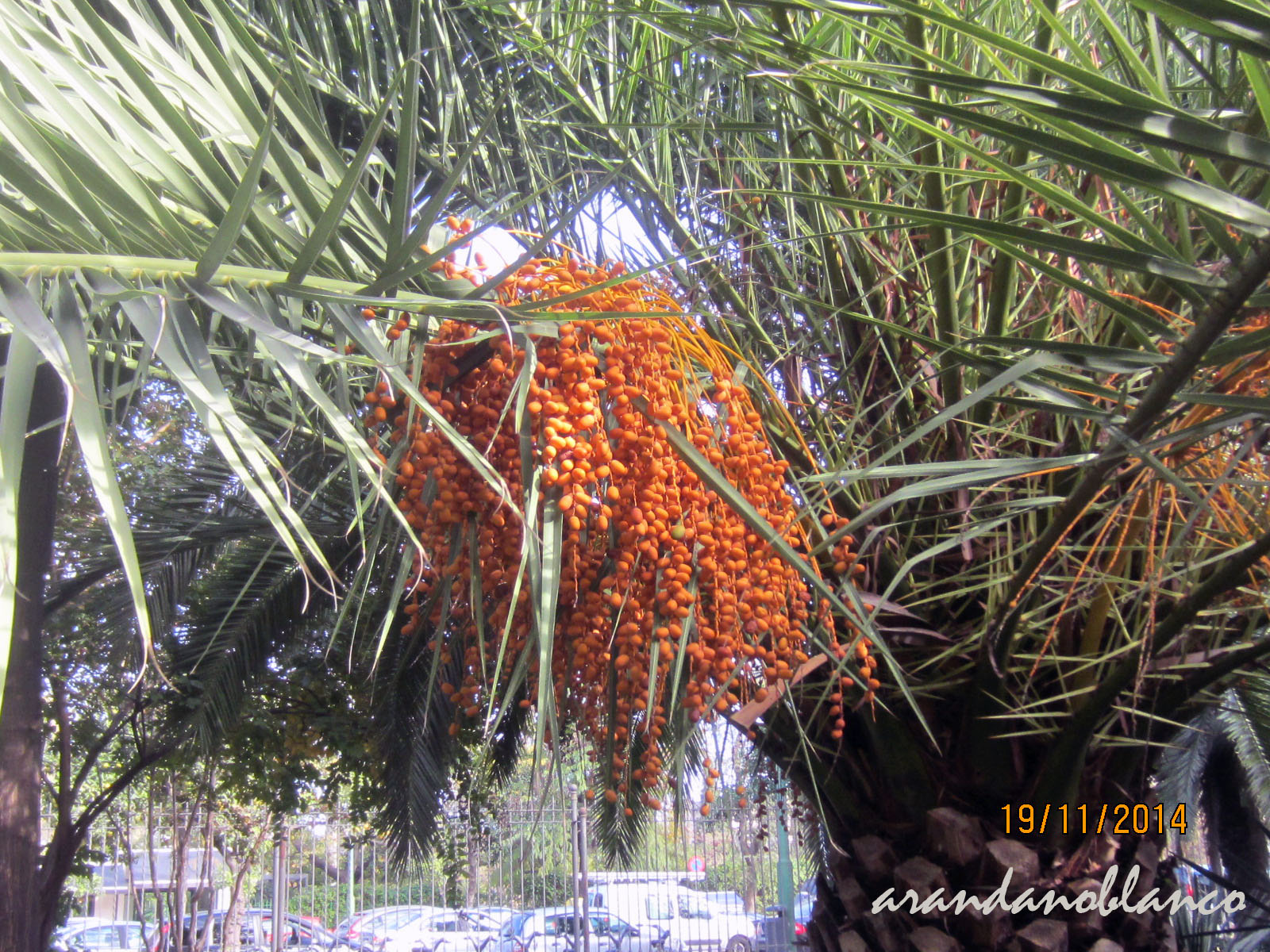 Resultado de imagen de fruto do phoenix canariensis