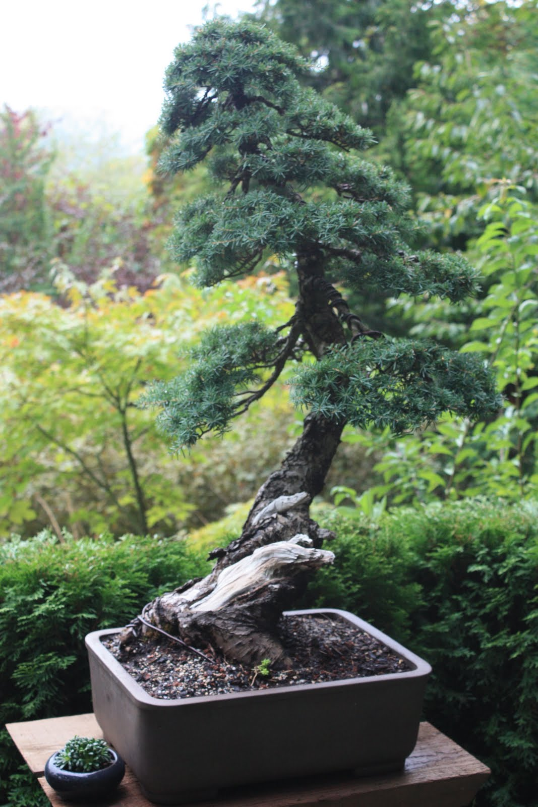 Woodland Bonsai Mountain Hemlock 1 Progress