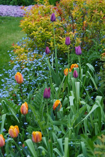Tulip 'Princess Irene' and Tulip 'Cum Laude' with Spirea 'Goldflame' and forget-me-nots (Myosotis)