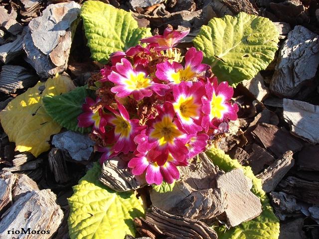 PRÍMULA: Primula vulgaris