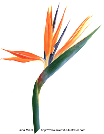 Flower   Picture on Summer Rayne Flowers  Flower Of The Day Bird Of Paradise