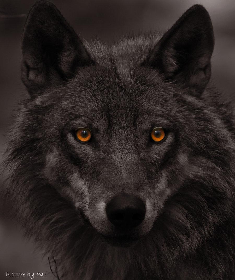 White wolf a history of attitudes toward wolves a history of attitudes toward wolves biocorpaavc
