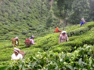 Darjeeling Terai Doars Plantation Labour Union threaten strike if bonus not paid
