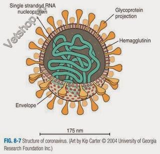 Hình 8: Cấu trúc của Coronavirus
