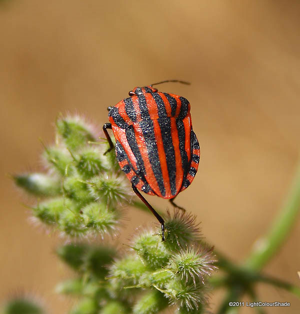Red And Black Striped Stink Bug Graphosoma lineatum