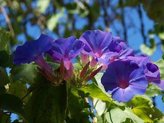 Purple Ipomoea Violacea
