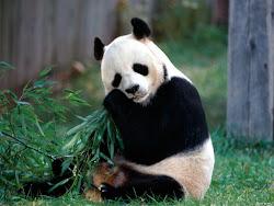 URSINHO PANDA: NOSSO MASCOTE