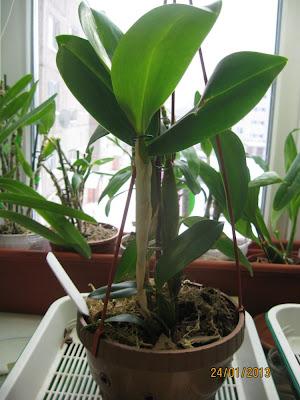 Dendrobium eximium x forbesii - внешний вид дендробиума