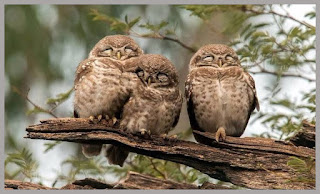 фото трнех спящих сов