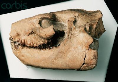 Merycoidodon skull