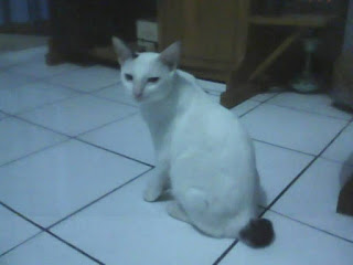 White Bobtail Domestic Cat