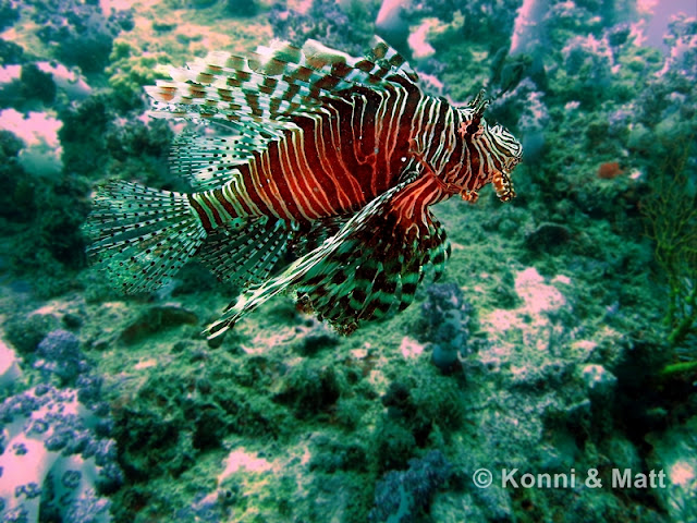Lion Fish, Devil Fire Fish, Straits of malacca, koh lipe, thailand