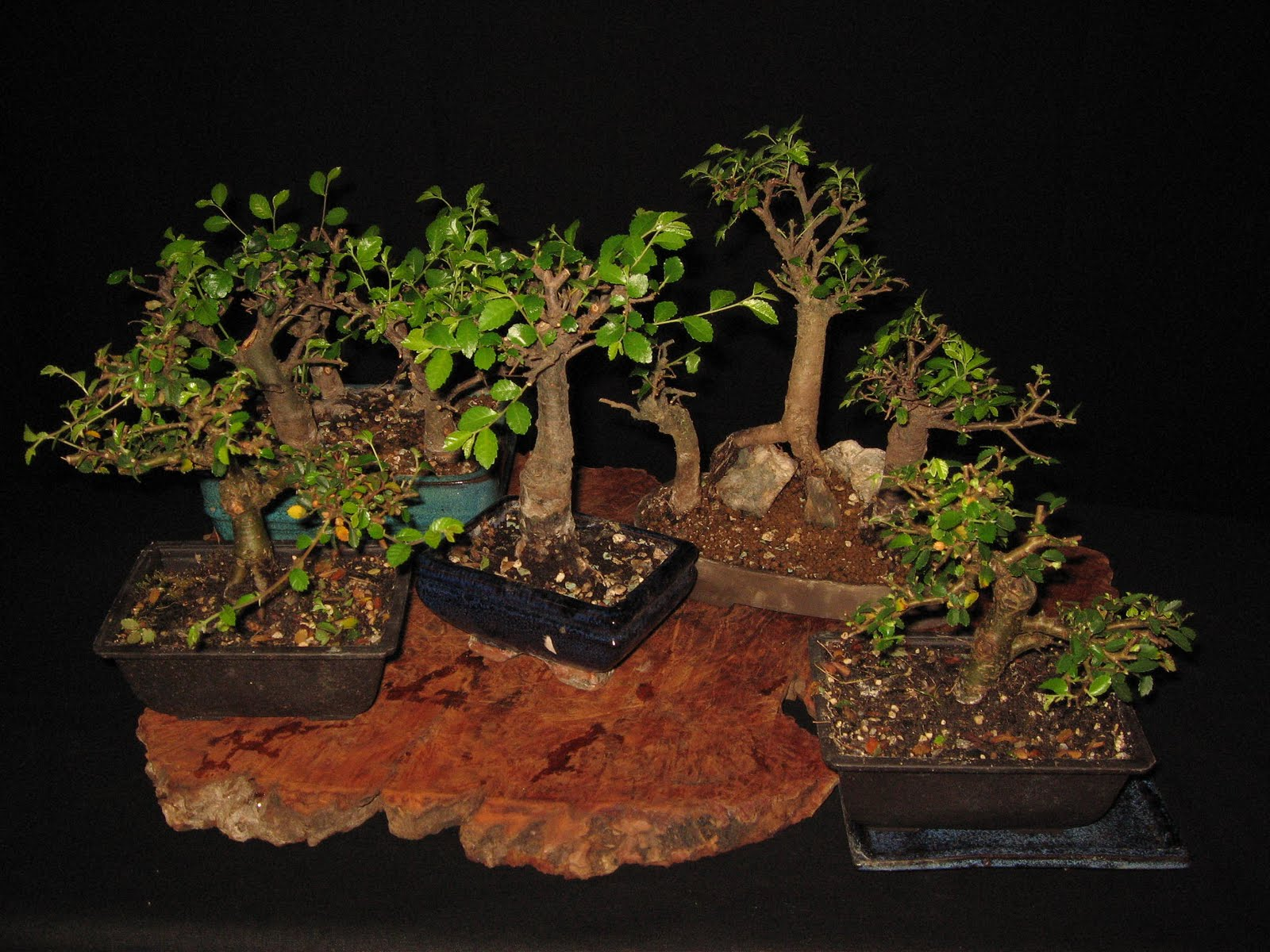 bonsai das sch nste hobby der welt ulmus parvifolia das. Black Bedroom Furniture Sets. Home Design Ideas