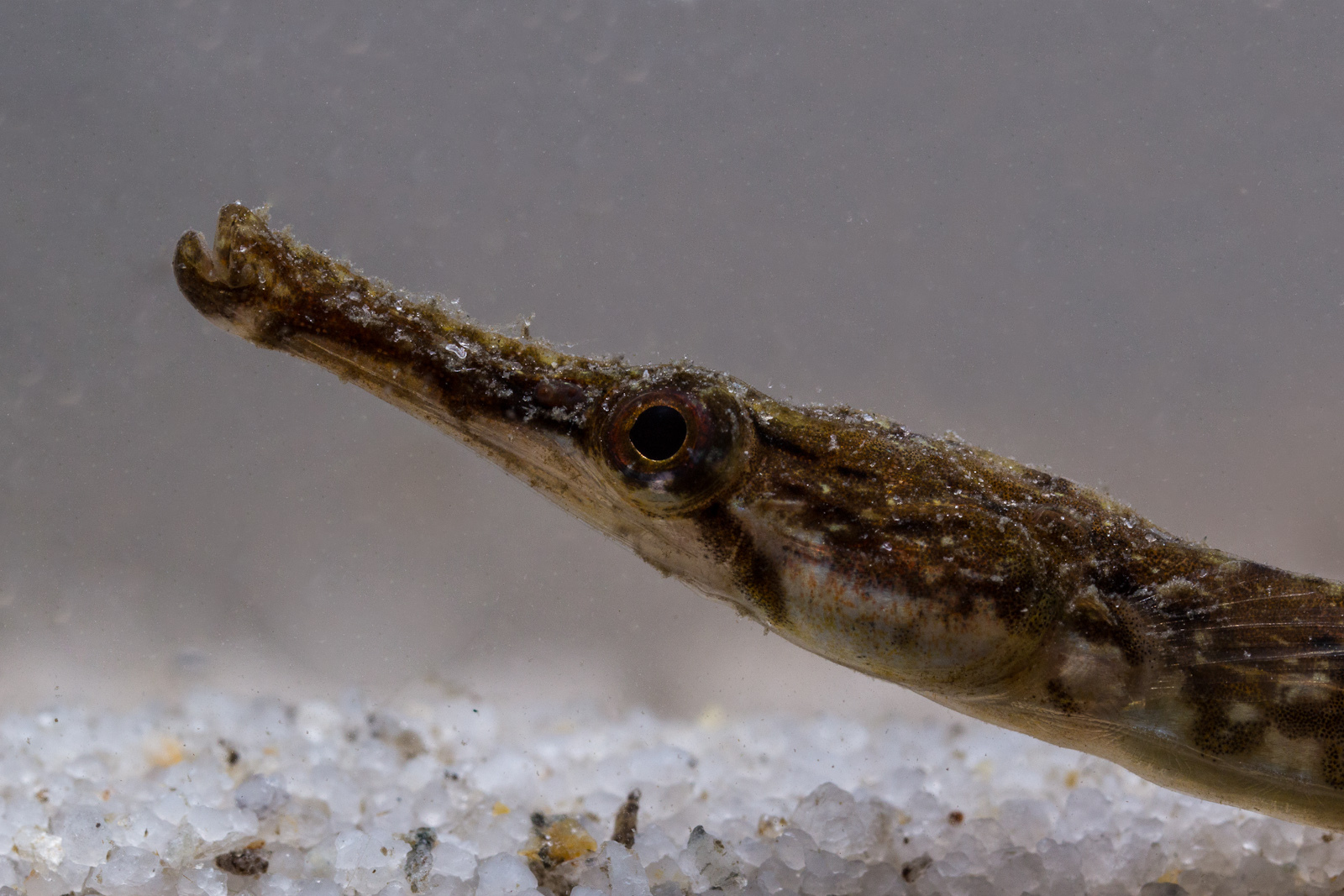 Real Monstrosities: Pipefish
