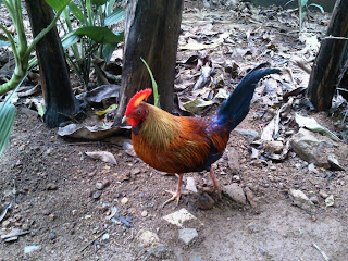 Ceylon Jungle Fowl