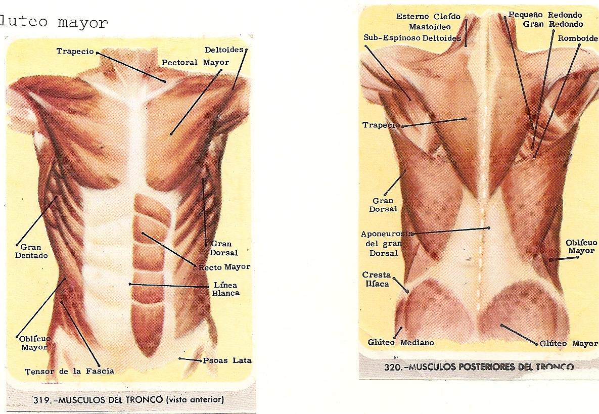 Encantador Los Músculos Del Torso Anatomía Motivo - Anatomía de Las ...