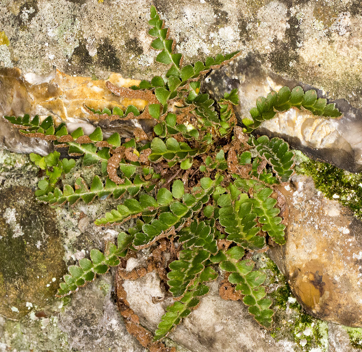Rustyback, Asplenium ceterach.   On Hayes churchyard wall, 2 December 2013.
