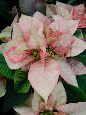 Allan Gardens Conservatory Christmas Flower Show 2015 pink poinsettia closeup by garden muses-not another Toronto gardening blog
