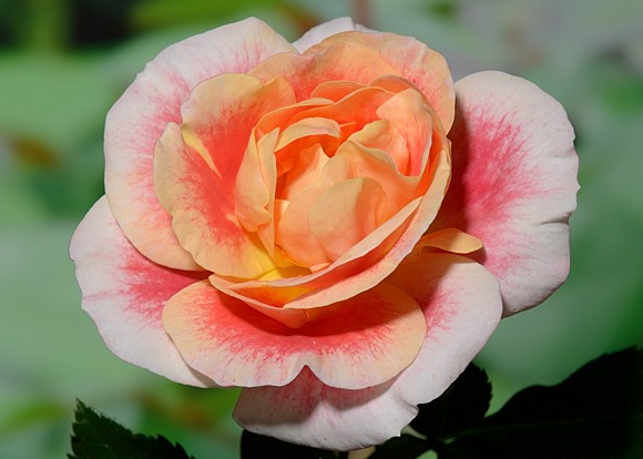 Airbrush rose сорт розы фото