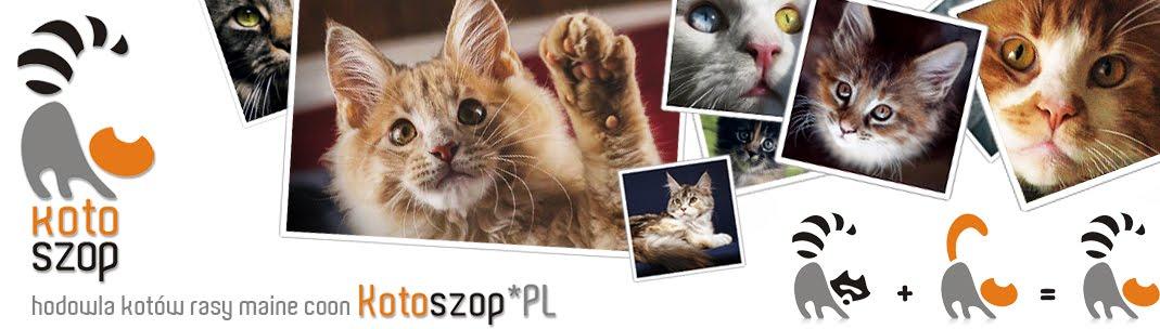 hodowla kotów rasy maine coon Kotoszop*PL