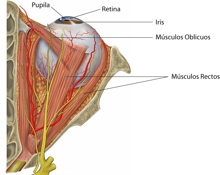 el moderno prometeo: Anatomía básica del ojo