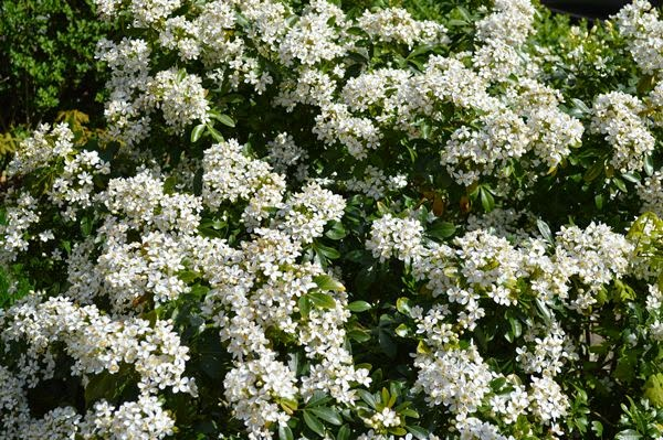 Evergreen shrubs picture gallery gardenandhealth glossy green leaves covered in many white flowers mightylinksfo Images