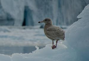 Posing beautifully on an iceberg