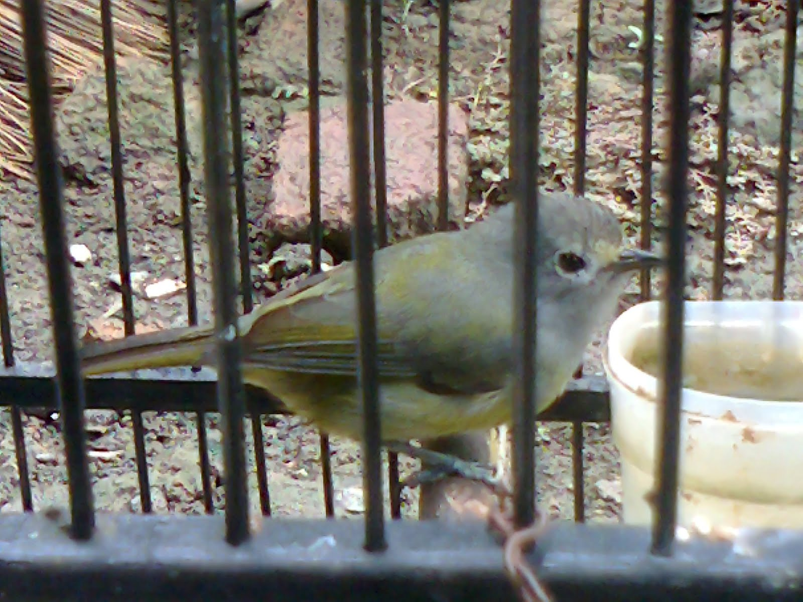 catatan usang burung pleci gunung piapia pleci robin
