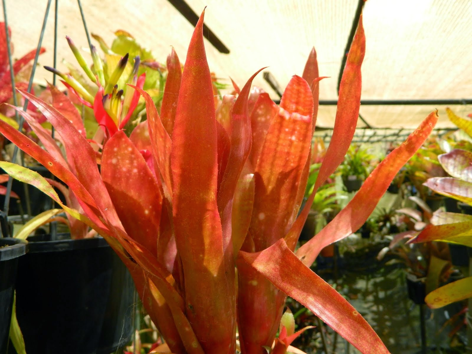 Billbergia Night Life